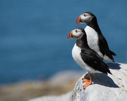 atlantische papegaaiduikers iii foto