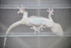gekko, gekko, tropische Aziatische gekko foto