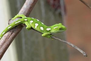 groene gekko foto