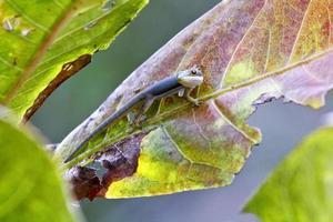 Madagaskar daggekko (Phelsuma madagascariensis) foto