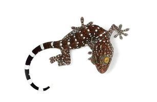 tokay gecko witte achtergrond foto