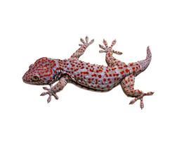 gekko (gekkonidae) foto