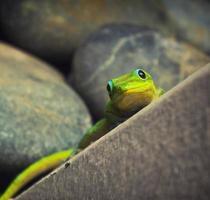 close-up shot van een groene gekko foto