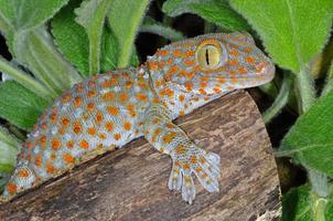 tokay gekko gekko foto