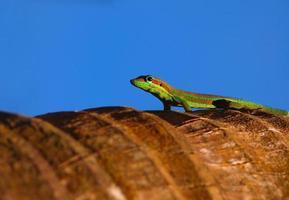 gekko op palmboom foto