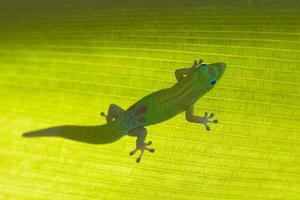 gekko op tropisch blad foto