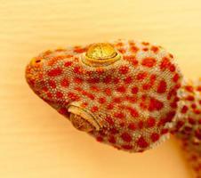 grote oranje en blauwe gekko foto