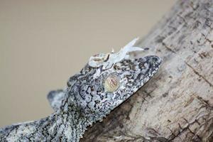 bemoste bladstaartgekko (uroplatus sikorae) gecamoufleerd op een tre foto