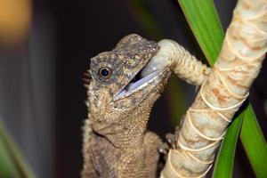 hagedis op een tak, acanthosaura foto