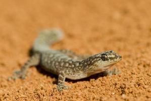 gekko zitten in zanderige woestijn foto