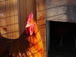 kippenboerderij vrije uitloop foto