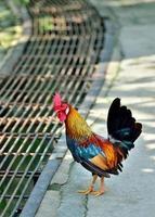 rode jungle gevogelte foto