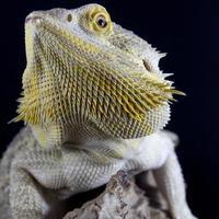 bebaarde draak foto