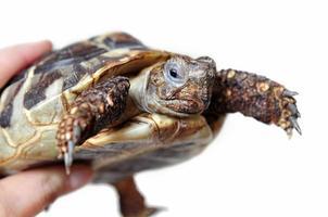 hermann's schildpad foto