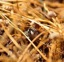 gezicht van kleine Canarische hagedis onder droge grassen foto