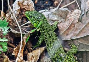 groene hagedis van droog gras. foto