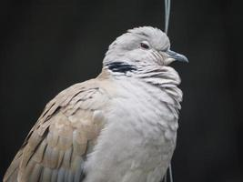 paloma blanca foto