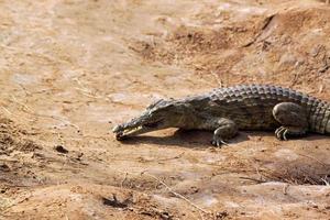 krokodil savanne, tsavo east park in Kenia foto