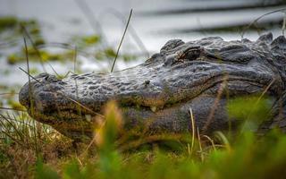 alligator in het gras foto