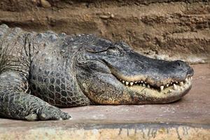 Amerikaanse alligator (alligator mississippiensis). foto