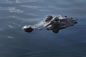 alligator nadert foto