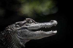 portret van een jonge alligator foto