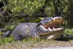 grote alligator in lage hoek foto