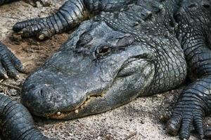 alligator liegt im zand