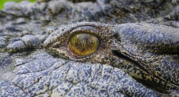 close-up oog van zoutwaterkrokodil foto