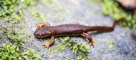 california newt, taricha torosa, in bladeren foto