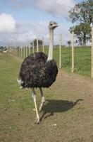struisvogel hardlopen foto