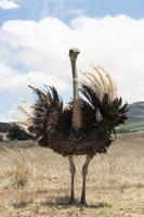 volwassen struisvogel foto