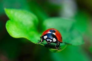 lieveheersbeestje op blad foto