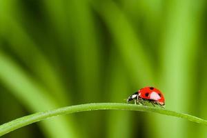 lieveheersbeestje op gras over groene bachground
