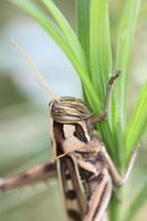 macro van bruine sprinkhaan zat op blad. foto