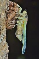 pasgeboren cicade foto