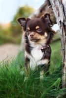 schattige chihuahua hond buiten in de herfst foto