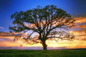 groot boomsilhouet, zonsondergang foto