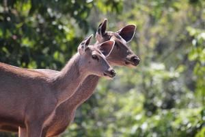 twee mooie sambar herten (rusa unicolor) in een indisch bos foto