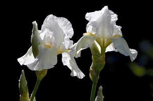 twee witte baard iris plant bloeit foto