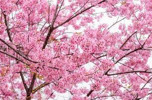 de kers komt bloemen in het bloeien van Thailand tot bloei foto