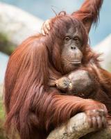 orang-oetan die borstvoeding geeft foto