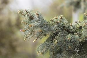 bloesem van blauwe kerstboom foto