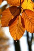 beuk in de herfst foto