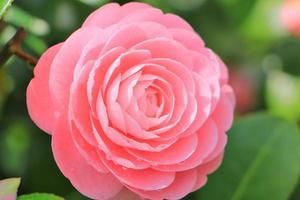 roze camelia foto