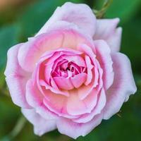 rosa foto