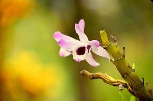 alleen orchidea foto
