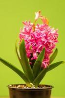 roze hyacint in bloei foto