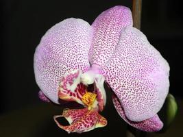roze orchidee close-up foto