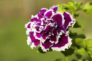 bloem petunia foto